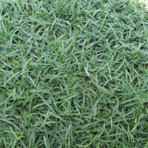 หญ้าพาสพาลั่ม